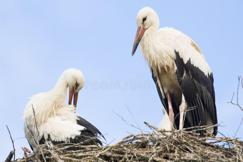 Compagnons de cigogne s'asseyant sur le nid images stock
