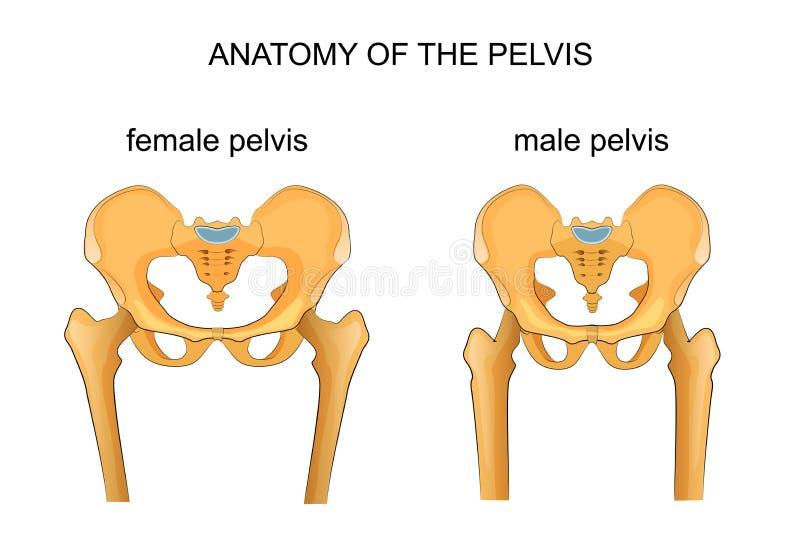 Comparación del esqueleto del varón y de la pelvis femenina stock de ilustración