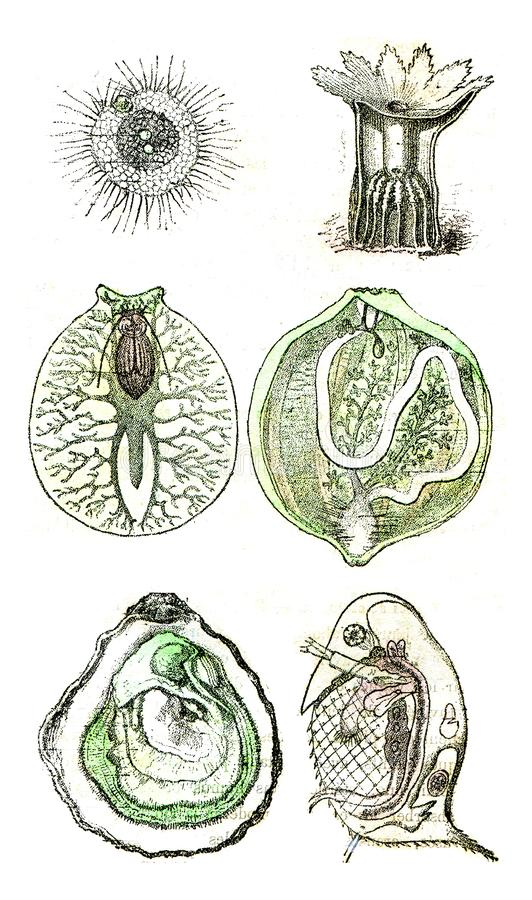 Comparative organization of invertebrate animals currently alive or represented in the primitive period by many species, vintage. Comparative organization of vector illustration