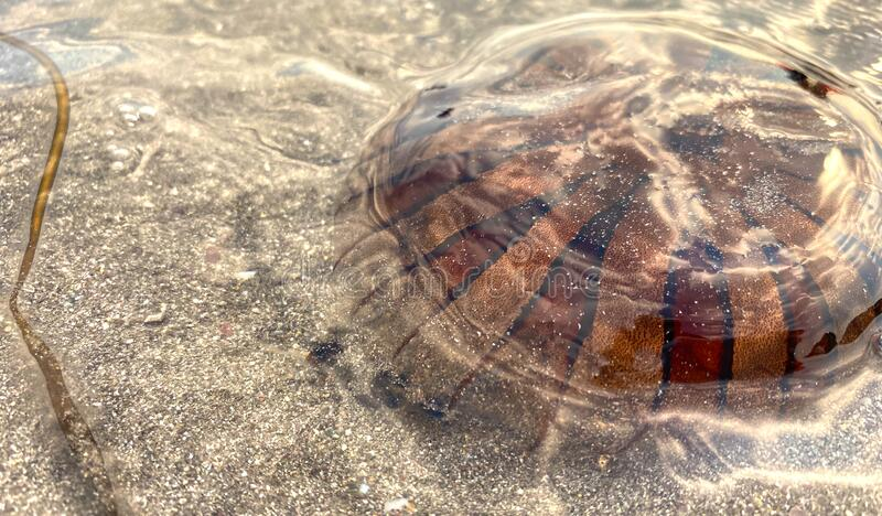Jellyfish washed up on the beach, on a warm summers evening royalty free stock image