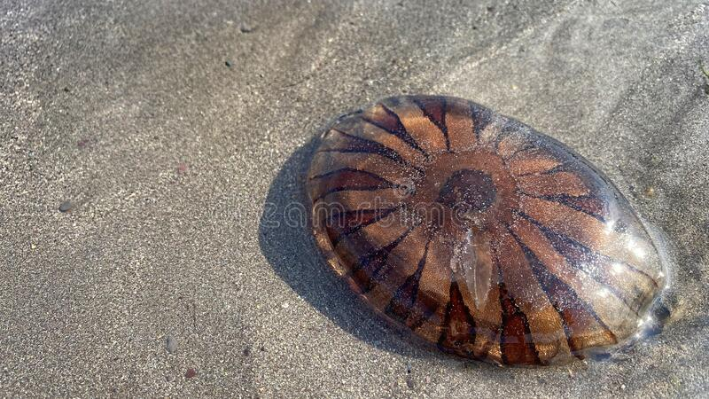 Jellyfish washed up on the beach, on a warm summers evening royalty free stock photos