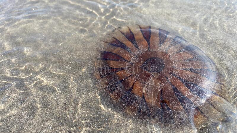 Jellyfish washed up on the beach, on a warm summers evening stock photo