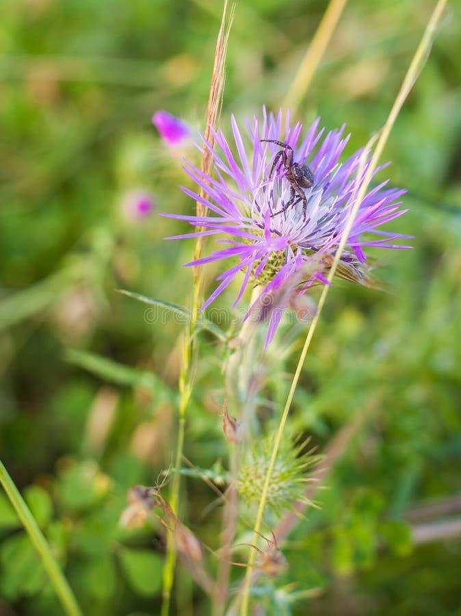 Compensi la deriva il ragno sull'agguato sul fiore della pianta di Cardus fotografia stock