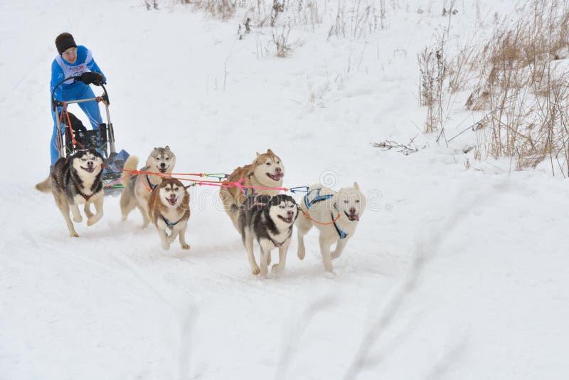 Competência de cão do trenó imagens de stock royalty free