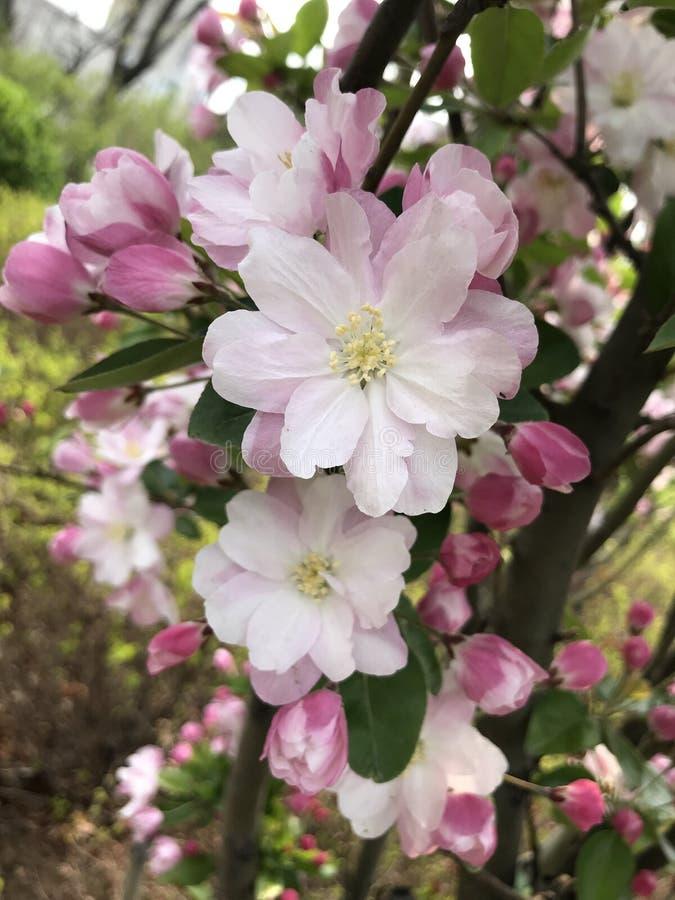 Competência do rosa e as brancas das flores aberta fotos de stock