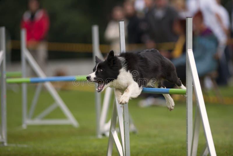 Competencia de la agilidad del perro imagenes de archivo