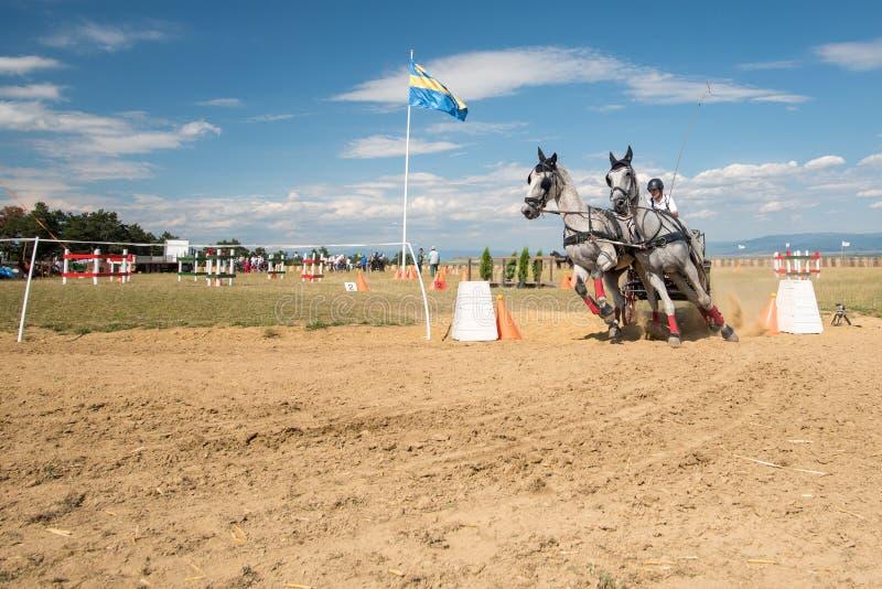 Competencia de los caballos blancos con el carro y jinete durante el curso imagen de archivo libre de regalías
