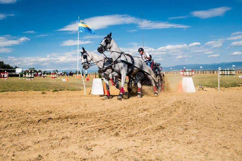 Competencia de los caballos blancos con el carro y jinete en la vuelta del final de la pista foto de archivo libre de regalías