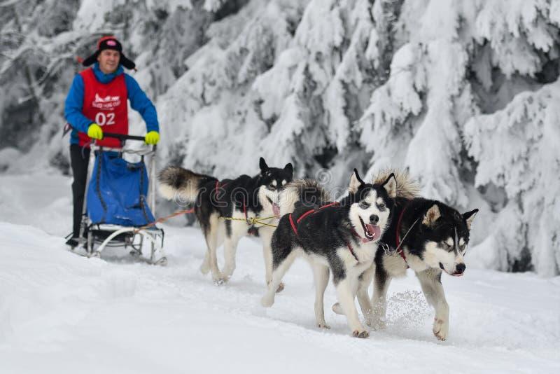 Competencia del trineo del perro foto de archivo libre de regalías