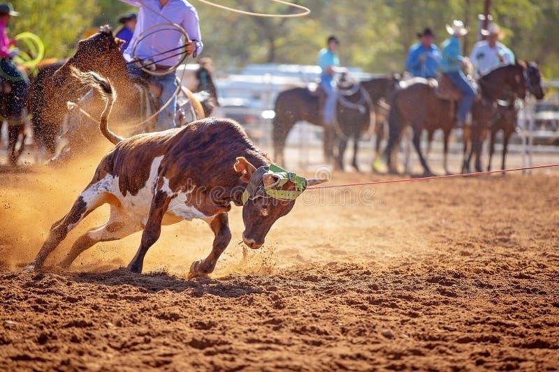 Competencia el Roping de becerro en un rodeo australiano fotografía de archivo