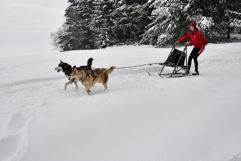 Competição do trenó do cão foto de stock