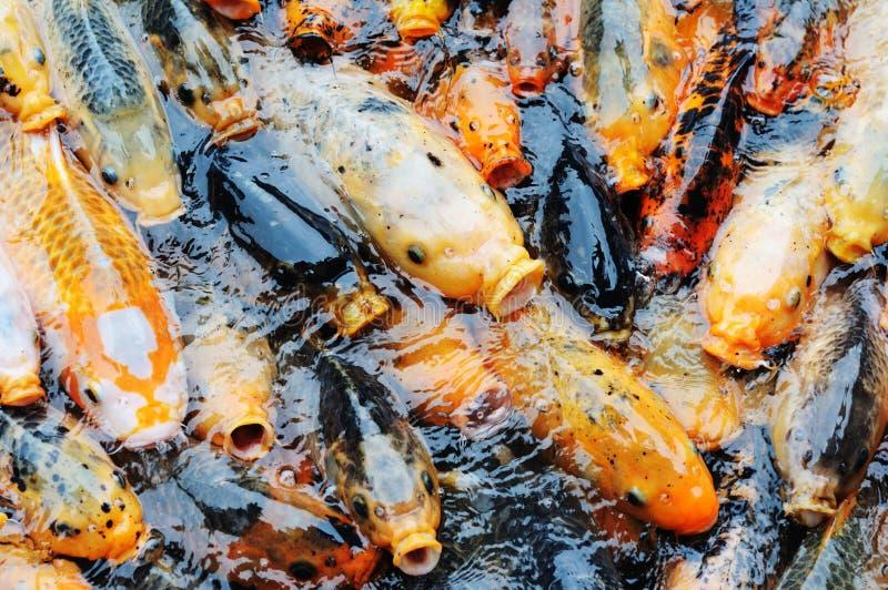 Competición de los pescados de Koi para el alimento fotografía de archivo