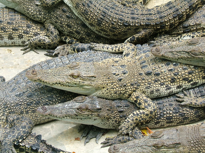 Download Competition Against Alligators Stock Photo - Image of competitive, animal: 399728