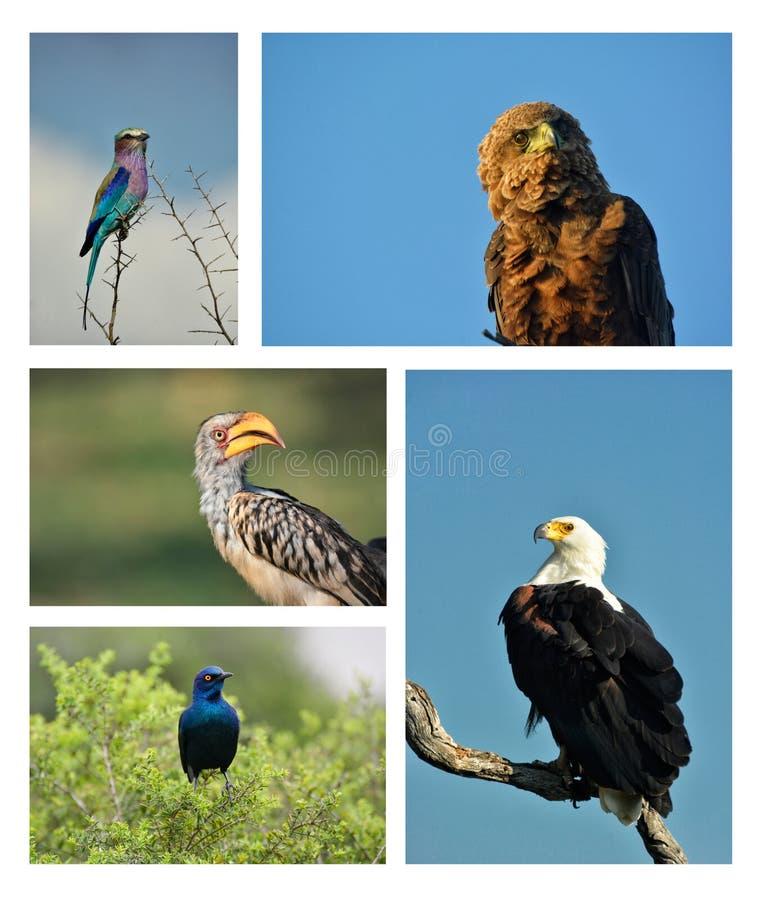 Compilação dos pássaros da África meridional fotografia de stock