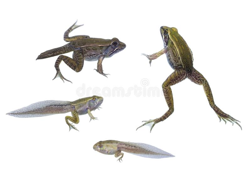 Southern Leopard Frog life cycle. A compilation of shots of the Southern Leopard Frog life cycle, showing different life stages from tadpole to pollywog to adult royalty free stock images