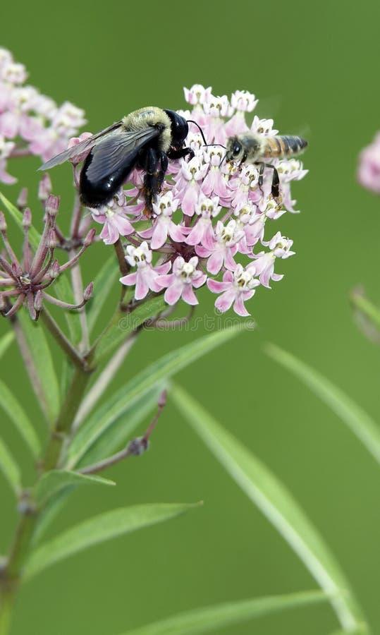 Compinches de la abeja fotos de archivo