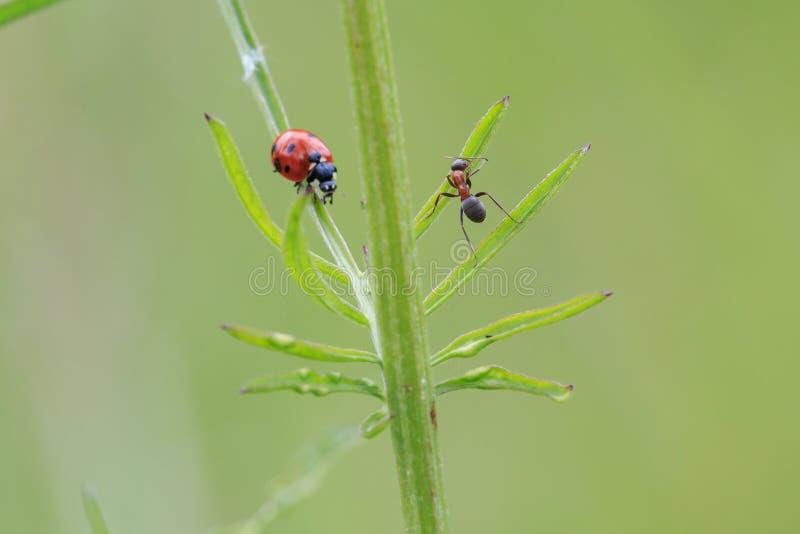 """Compitiendo con hormiga del †de los insectos la """"persigue una mariquita en la hierba verde fotos de archivo libres de regalías"""