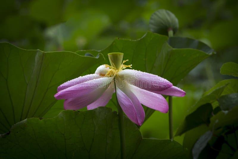 Completamente apra il fiore di Lotus immagini stock libere da diritti