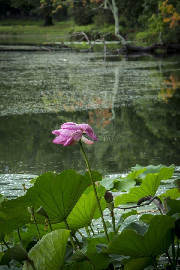 Completamente apra il fiore di Lotus nella scena dello stagno immagini stock