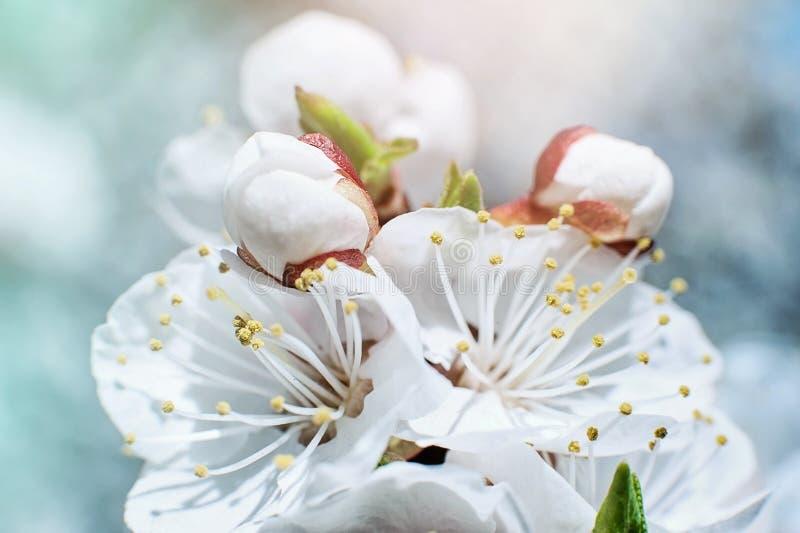 Completamente florescência da árvore de abricó Close up com foco seletivo macio imagem de stock royalty free