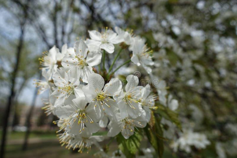 Completamente ha aperto i fiori bianchi della ciliegia in primavera immagini stock libere da diritti