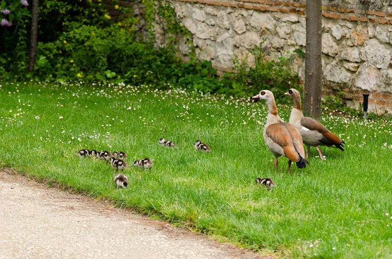 Complete family of ducks composed by both parents and several newborn babies stock image