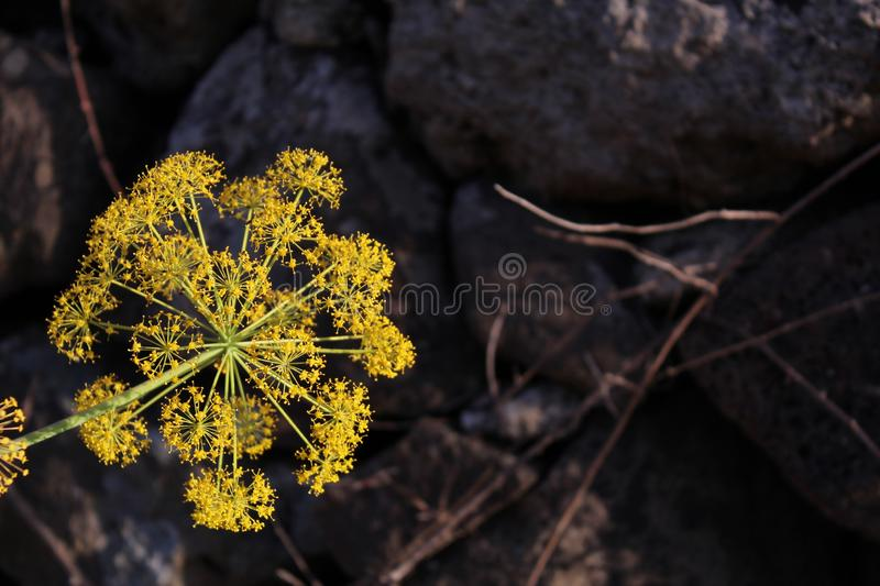 The explosion of the yellow flower stock photo
