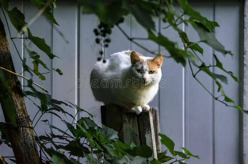 Almost completely white cat sits on the fence portrait royalty free stock images