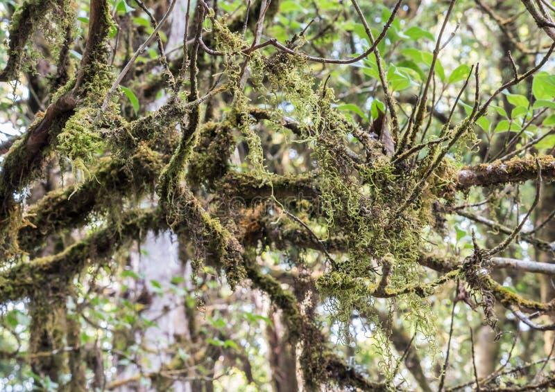Complex lichen Usnea exasperata. Complex lichen Usnea exasperata is growth on the branch in the national park royalty free stock photos