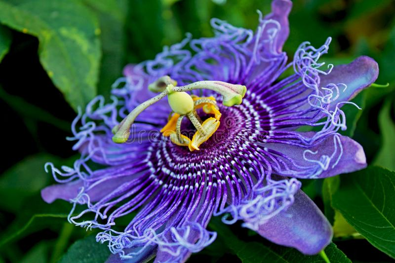 Passiflora, passion flower, passion vine. The complicated and beautiful flowers of Passiflora, the Passion vine. Passiflora, known also as the passion flowers or stock photos