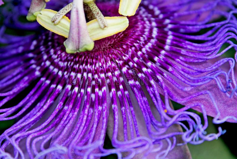 Purple flower of passion vine, Passiflora. The complicated and beautiful purple flower of Passiflora, the Passion vine. Passiflora, known also as the passion royalty free stock photography