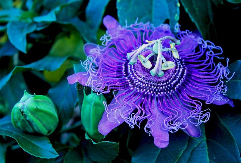 Purple flower of passion vine, Passiflora. The complicated and beautiful purple flower of Passiflora, the Passion vine. Passiflora, known also as the passion stock photo
