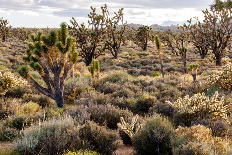 Joshua trees in the heart of Mojave National Preserve. The complicated forms of Joshua trees against the light in the heart of the Mojave National Preserve stock images