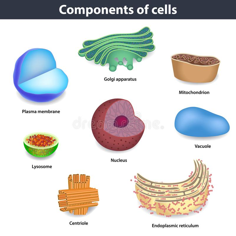 Componenti dell'illustrazione di vettore delle cellule umane royalty illustrazione gratis