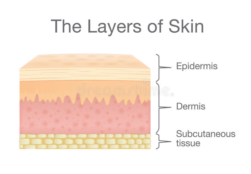 Components of human Skin layer in vector style. vector illustration