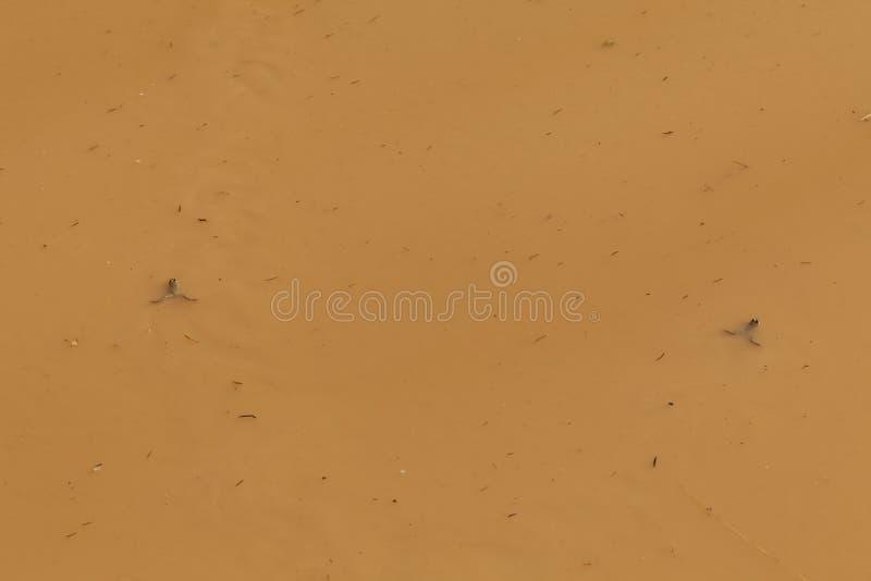 Comportamento amfibio nel fondo marrone della pozza dell'acqua immagini stock libere da diritti