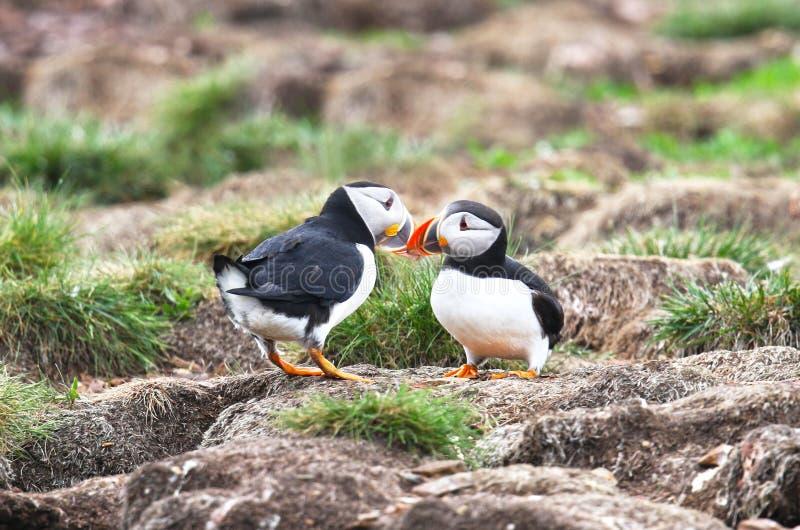 Comportamento de acoplamento do papagaio-do-mar atlântico, bicos tocantes, de Terra Nova, Canadá Fundo do viveiro fotografia de stock royalty free