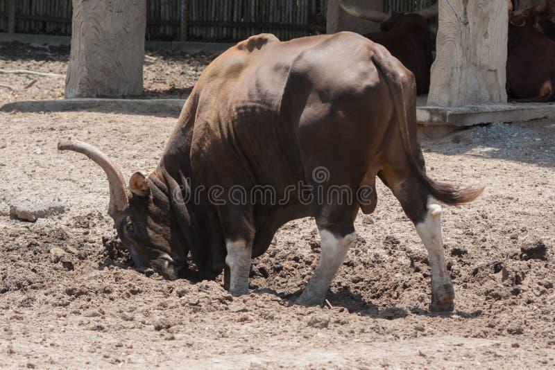 Comportamento del toro fotografie stock