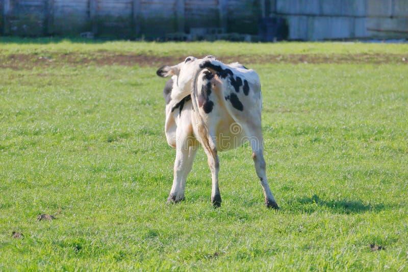 Comportamento dell'animale da allevamento immagini stock libere da diritti