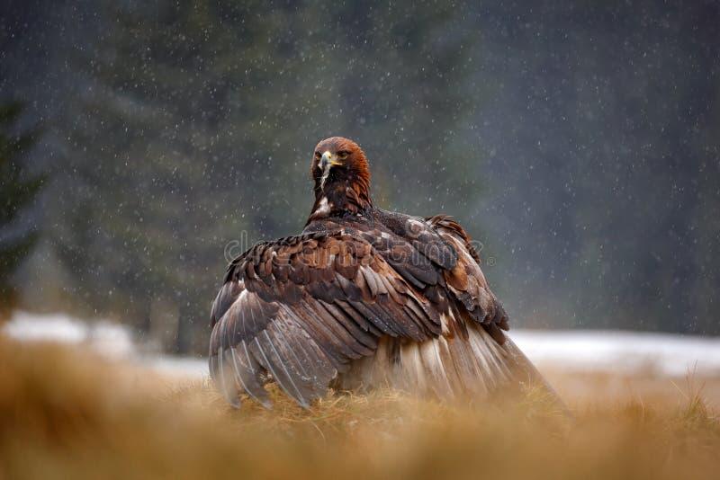 Comportamento dell'uccello nella natura Scena di comportamento con la rapace marrone, aquila con il fermo, Russia, Europa Aliment fotografia stock libera da diritti
