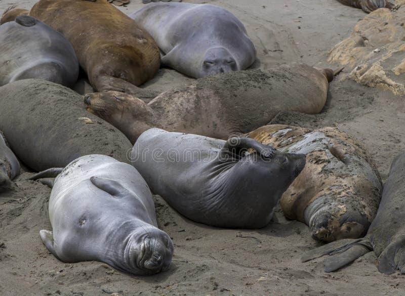 Comportamento delle guarnizioni di elefante e dormire su Sandy Beach fotografia stock