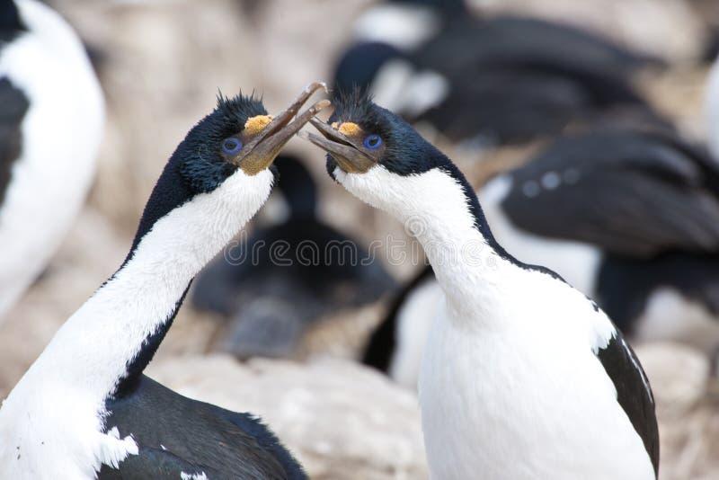 Comportamento di adulazione dei cormorants favoriti fotografie stock libere da diritti