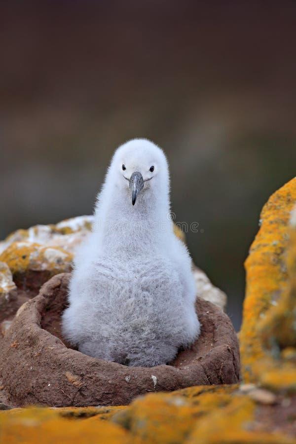 Comportamento di incastramento Piccolo albatro nel bambino sveglio del nido dell'albatro Nero-browed, melanophris di Thalassarche immagine stock