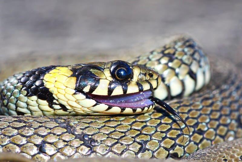 Comportamento di Thanatosis, serpente di erba fotografie stock libere da diritti