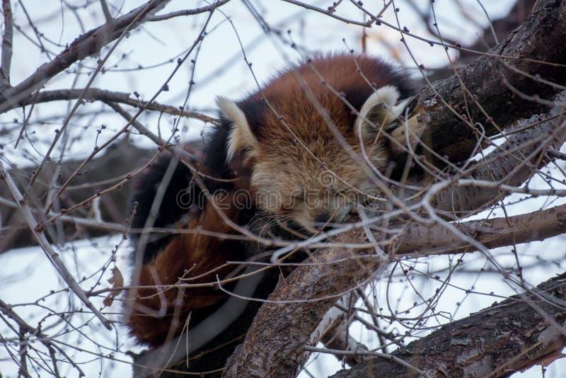 Comportamento di un panda minore sveglio fotografia stock
