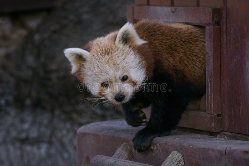 Comportamento di un panda minore sveglio immagine stock libera da diritti