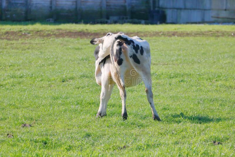 Comportamento do animal de exploração agrícola imagens de stock royalty free