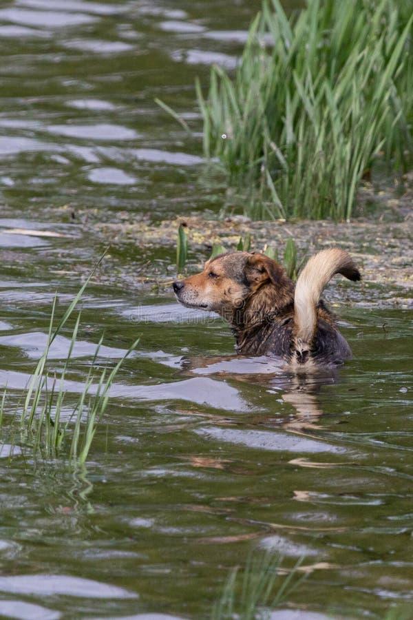 Comportamento insolito del cane, bagnante nel fiume fotografia stock