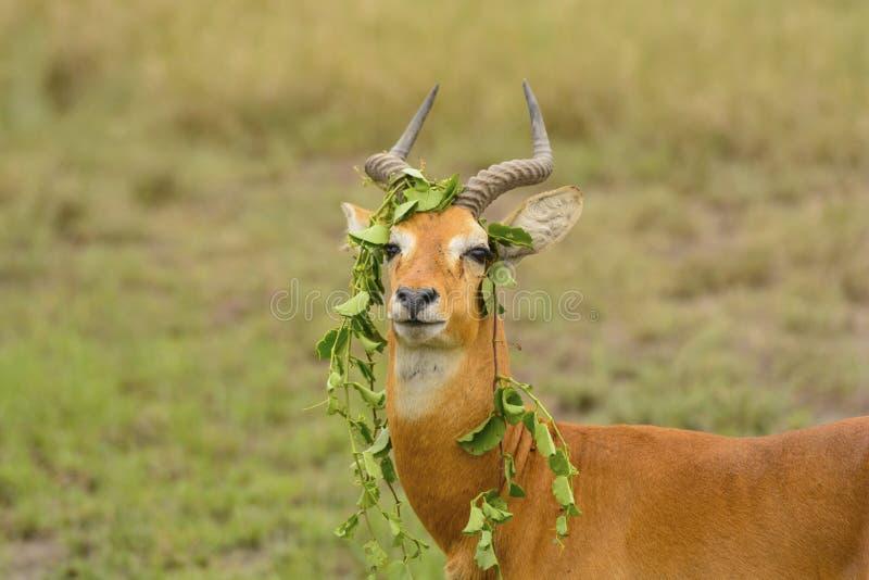Comportamento original de um Ugandan Kob imagens de stock royalty free
