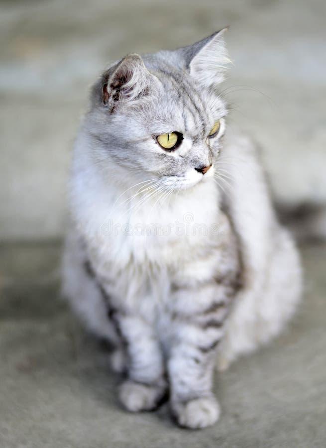 Comportamiento del gato de Persia imagen de archivo libre de regalías